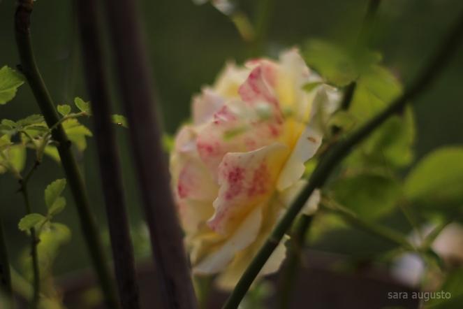 1 yellow rose sara augusto