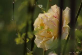 2 yellow rose sara augusto