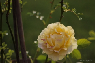 4 yellow rose sara augusto