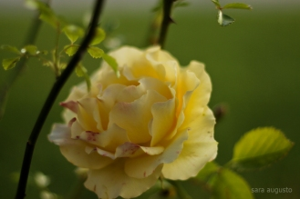 5 yellow rose sara augusto