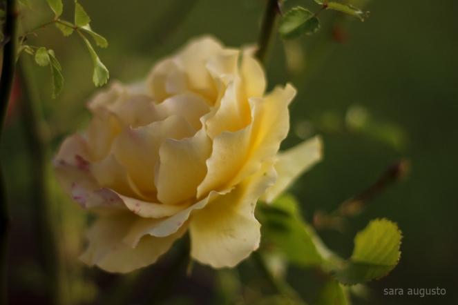 6 yellow rose sara augusto