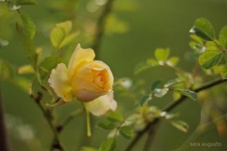 7 yellow rose sara augusto