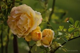 8 yellow rose sara augusto