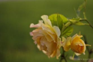 9 yellow rose sara augusto